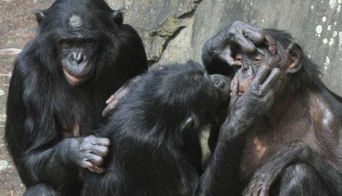 Bonobos em zoológico da Bélgica. Crédito: AFP