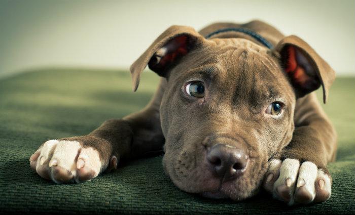 A norma teve forte resistência de grupos defensores desses cães.  Foto: Brad Tombers/Flickr