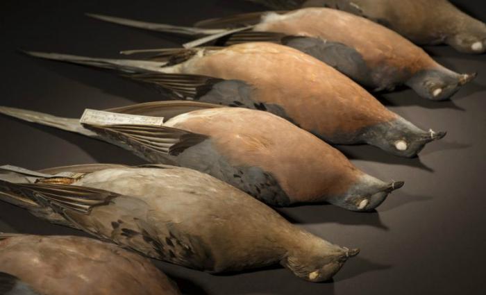 Espécimes de pombo passageiro: pesquisadores estudaram o DNA de animais pertencentes a museus. Foto: Rene O'Connell/Divulgação