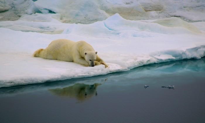 """A imagem de um urso polar venceu na categoria """"Comportamento"""". Foto: Antonia Doncila/Divulgação"""