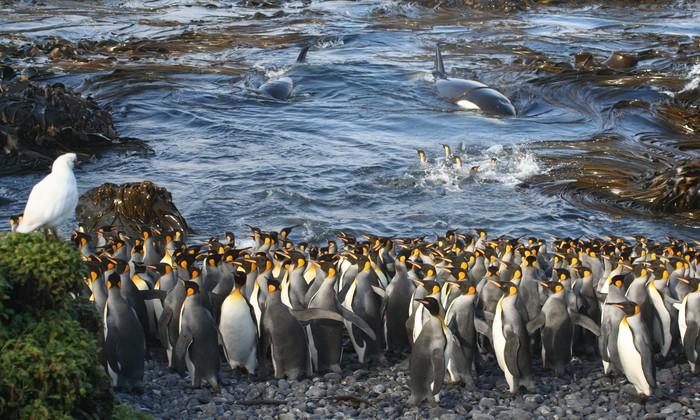 """O clique de Pinguins-Rei na Ilha de Marion foi considerado vencedor na categoria """"Ecologia"""". Foto: NICO DE BRUYN/Divulgação"""