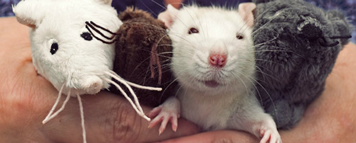A iniciativa vem poupando sofrimento e morte de cerca de 45 ratos por ano. Foto: Facebook/Reprodução