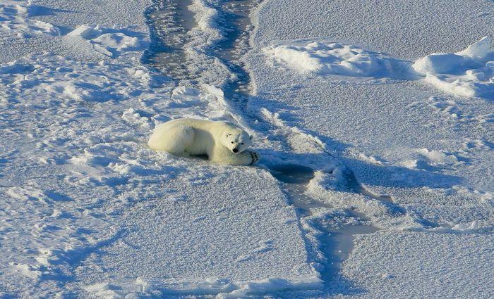 Os ursos polares têm gasto energético até 21% superior ao de bichos semelhantes: o valor é maior do que o estimado por especialistas. Foto: Anthony Pagano/Divulgação
