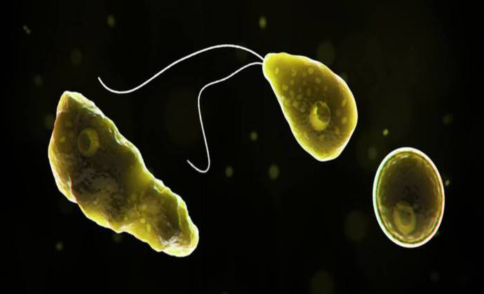 Imagem gerada por computador mostra a ameba Naegleria fowleri em seu estágio flagelado e em seu estágio de cisto. Foto: CDC/Divulgação