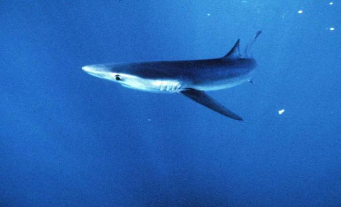 O primeiro santuário para tubarões do mundo foi criado em 2009 no arquipélago de Palau. Foto: AP Photo/National Marine Fisheries Service
