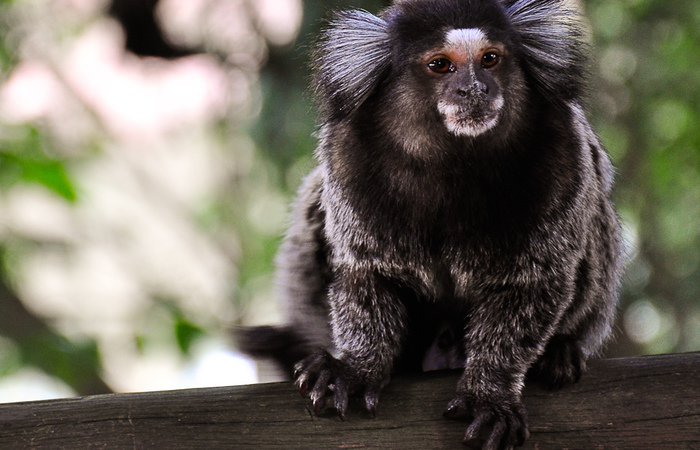Desde outubro, quando mortes de macacos com febre amarela começaram a ser contabilizadas, houve a confirmação de 149 óbitos de animais. Foto: Flickr/Reprodução