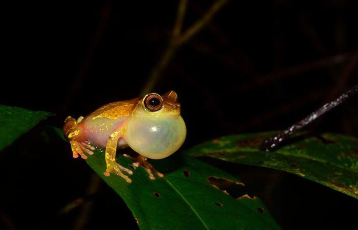 Em duas expedições à Amazônia, pesquisadores de São Paulo coletaram animais de pelo menos 12 espécies ainda não catalogadas de sapos e lagartos. Foto: Reprodução/Agência Brasil/Fapesp