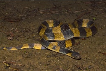 A serpente seria da família das bungarus, uma espécie muito venenosa. Foto: Shutterstock