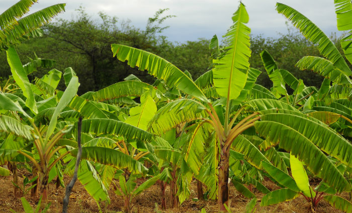 Produto é uma das principais alternativas para obtenção de renda de agricultores. Foto: Bernardo Dantas/Arquivo DP