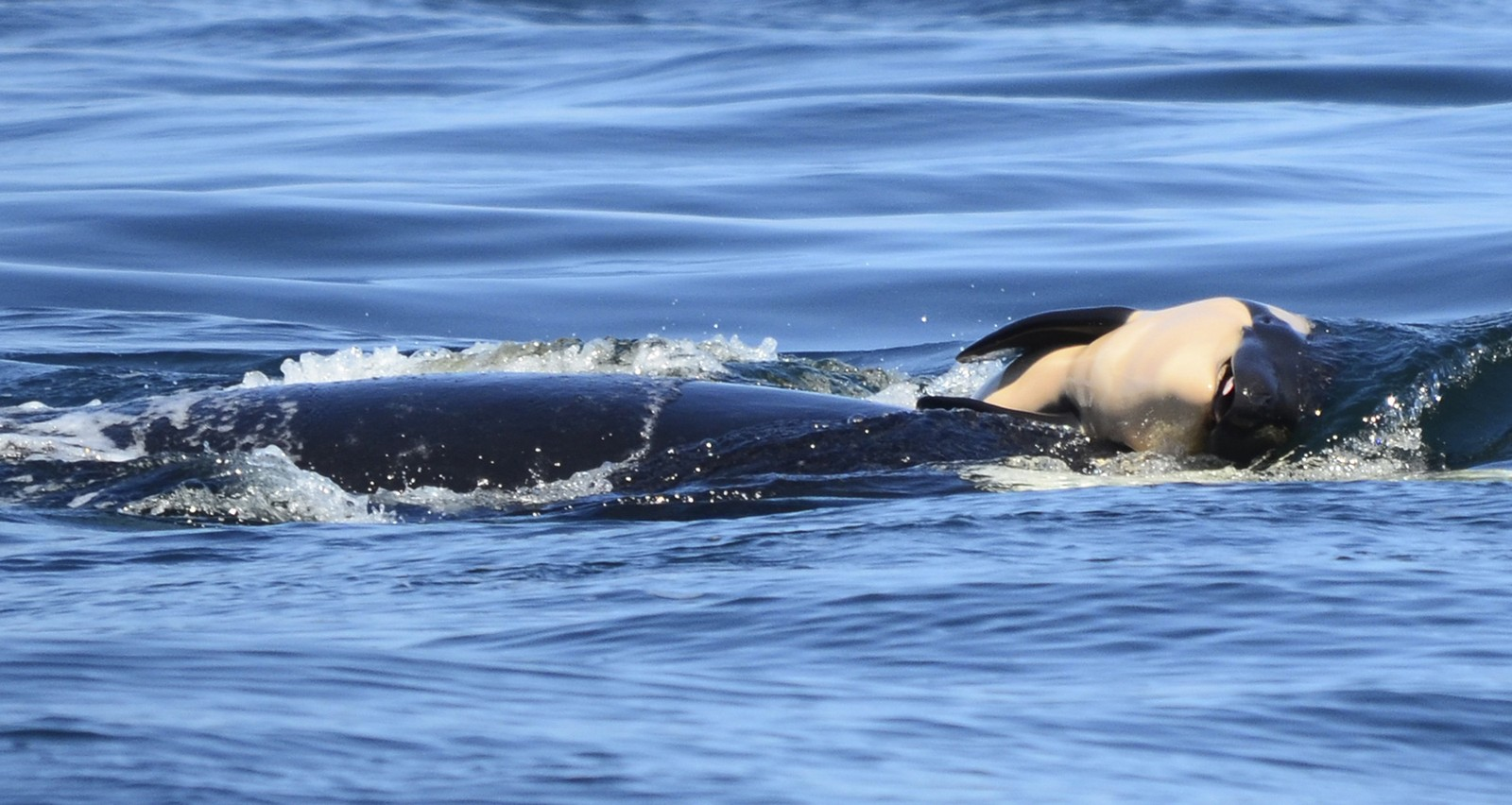 Foto: Facebook / Michael Weiss, Center for Whale Research
