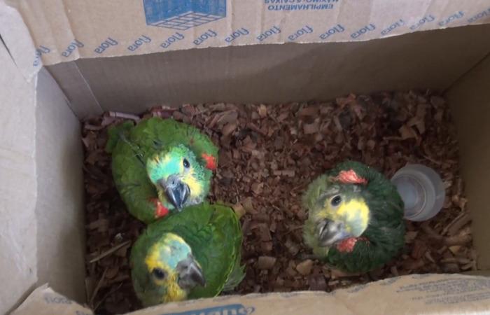 No anúncio, publicado no Facebook, o agricultor autuado dizia ter 14 papagaios, mas os policiais só apreenderam três aves. Imagem: PF/Divulgação