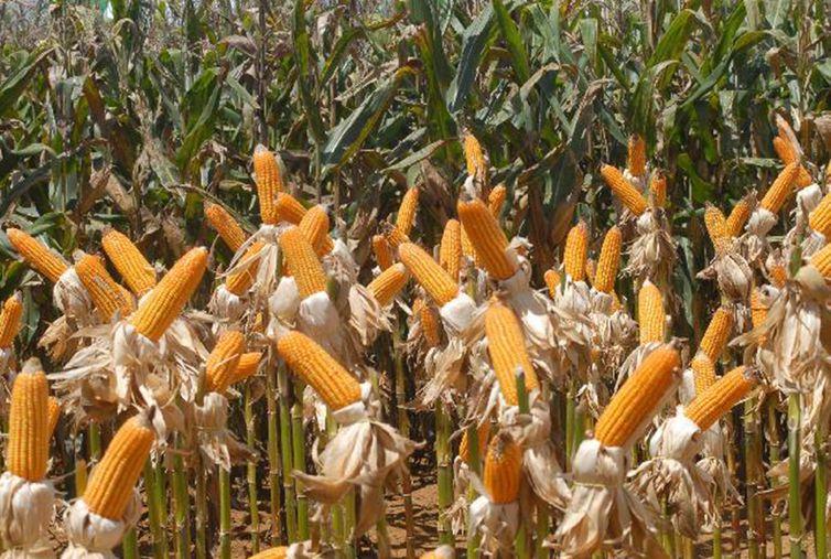 Quantidade de campos de milho podem ser reduzidos se não houver mudanças, diz WWF. Foto: Elza Fiúza/Agência Brasil