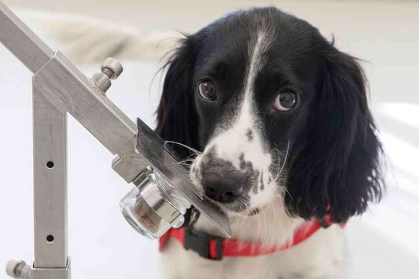Freya é um dos cães treinados para farejar a doença: estratégia poderá ser adotada em portos e aeroportos. Foto: Medical Detection Dogs/Divulgação