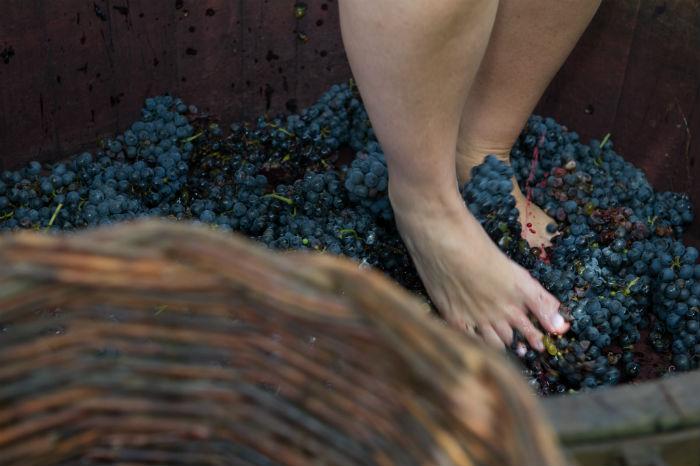 A pisa das uvas é uma das atividades preferidas dos turistas. Foto: Júlio Soares/cortesia Ibravin/Sebrae
