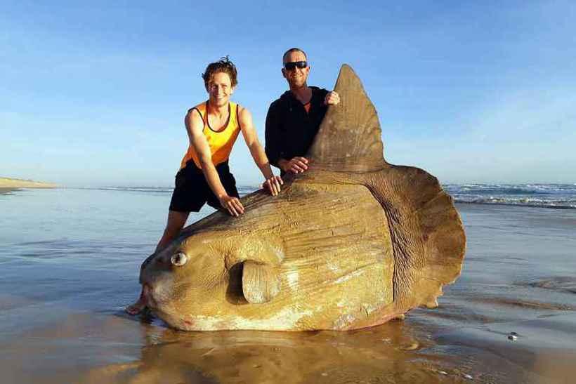 Ainda não se sabe o motivo pelo qual este peixe-lua chegou à costa. Foto: Courtesy e Linette Grzelak/AFP