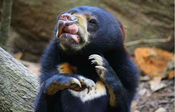%u201CImitar as expressões faciais de outras pessoas de maneira exata é um dos pilares da comunicação humana. Outros primatas e cães são conhecidos por imitar um ao outro, mas apenas grandes macacos e humanos. Agora, os ursos-do-sol mostram tal complexidade em seu mimetismo facial%u201D, diz Marina Davila-Ross, um dos autores do estudo. %u201CComo eles parecem ter comunicação facial de tamanha complexidade e por não possuírem um elo evolucionário especial com humanos, como os macacos, nem tenham sido domesticados, como os cães, estamos confiantes de que essa forma mais avançada de mimetismo está presente em várias outras espécies. O mais surpreendente é que o urso-do-sol não é um animal social. Na natureza, é um animal relativamente solitário. Então, isso sugere que a capacidade de se comunicar por meio de expressões faciais complexas pode ser um traço penetrante nos mamíferos%u201D, afirma, acrescentando que é necessário investigar a questão mais a fundo.  Contatos espontâneos  O mimetismo facial ocorre quando um animal responde à expressão facial de outro, imitando esses gestos ou os reproduzindo de forma similar. Derry Taylor, coautor do trabalho, codificou as expressões em 22 ursos-do-sol, durante sessões sociais espontâneas. Os espécimes, com idades entre 2 e 12 anos, foram alojados no Centro de Conservação Bornean Sun Bear, na Malásia, onde os recintos eram grandes o suficiente para permitir que eles escolhessem se queriam interagir ou não.  Apesar da preferência dos ursos na vida selvagem por um estilo solitário, os incluídos no estudo participaram de centenas de brincadeiras uns com os outros. Durante esses encontros, a equipe de pesquisa codificou duas expressões distintas %u2014 uma envolvendo uma exibição dos dentes incisivos superiores e outra sem. Os animais eram mais propensos a imitar os outros durante as interações mais suaves, sem indícios de brigas, algo que pode ocorrer durante essas brincadeiras. Taylor diz que uma imitação tão sutil pode ocorrer