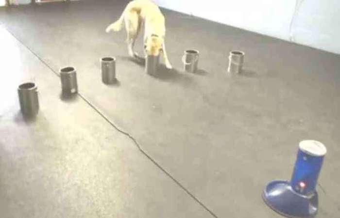 Um dos cachorros participantes do estudo: alto índice de acertos Foto: Reprodução