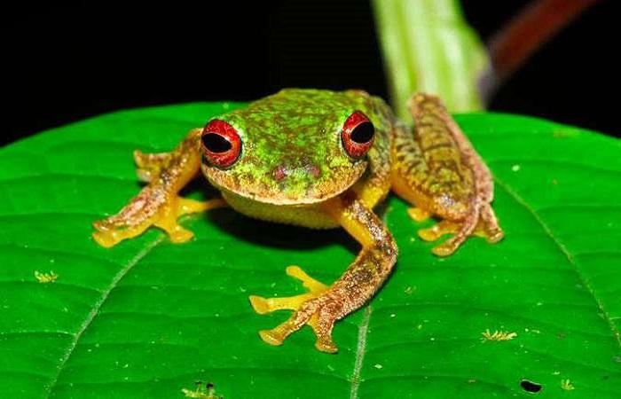 FOTO:Jonathan E. Kolby/Honduras Amphibian Rescue & Conservation Center (FOTO:Jonathan E. Kolby/Honduras Amphibian Rescue & Conservation Center)