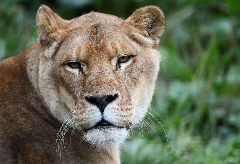 O caçador entrou ilegalmente no parque com o objetivo de abater um rinoceronte, mas acabou devorado por leões. Foto: AFP