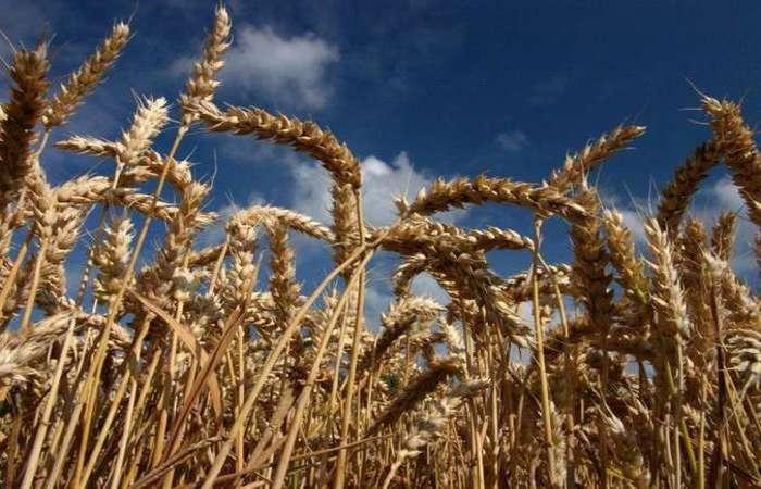 Pragas ameaçam 20% das cinco culturas que respondem por metade da ingestão calórica do mundo: trigo (foto), arroz, feijão, milho e soja. Foto: Gerárd Paillard /Divulgação