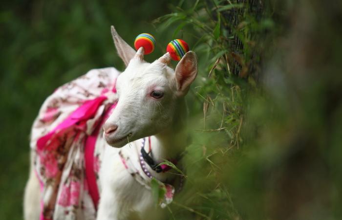 A cabra tem quase três mil seguidores no instagram. Foto: Peu Ricardo/DP
