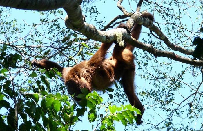 A espécie já está ameaçada de extinção por causa de fragmentação e perda do habitat. Foto: Marcos Kawall/SVMA/Divulgação (Foto: Marcos Kawall/SVMA/Divulgação)