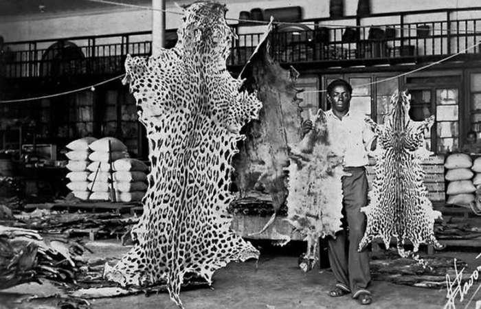 Prática ilegal de exploração dos recursos da Amazônia vem da década de 60, como mostra a imagem com a venda de peles no Mercado de Manaus. Foto: IBGE