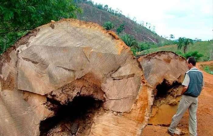 Castanheiras derrubadas ilegalmente: queimadas e desmatamento assolam a Amazônia há décadas. Foto: Ana Cotta, 2007