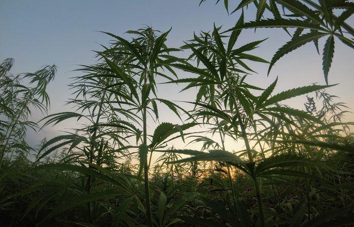 Anvisa pretende apresentar uma proposta de regulamentar o registro de remédios à base de Cannabis no Brasil e que dá aval ao plantio de maconha por empresas para a produção de medicamentos - Foto: Matteo Paganelli/Unsplash.