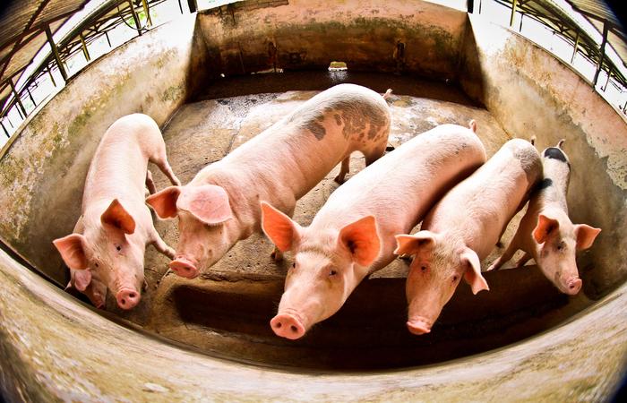 """""""Sete estabelecimentos de Santa Catarina foram habilitados a vender miúdos suínos para a China. A abertura desse mercado pode movimentar no próximo ano US$ 2 bilhões"""", publicou o Ministério da Agricultura no Twitter. (Foto: Thiago Gomes/ SUSIPE)"""