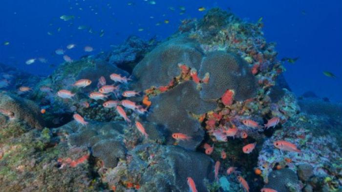 Nova expedição para registrar imagens do coral acontece em fevereiro. (Foto: UFPE/Divulgação)