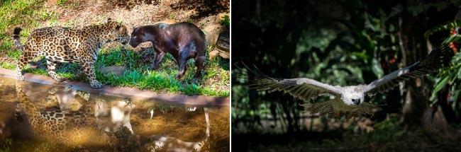 Onças pintadas e harpias vivem na reserva ambiental de itaipu (Itaipu/divulgação)