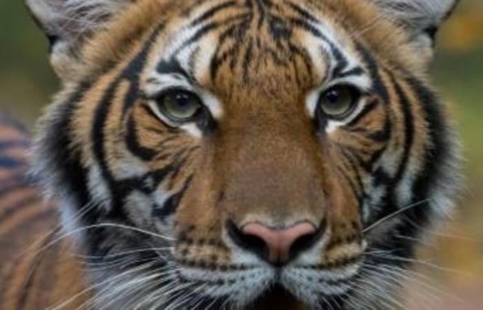 (Foto: Wildlife Conservation Society/AFP)