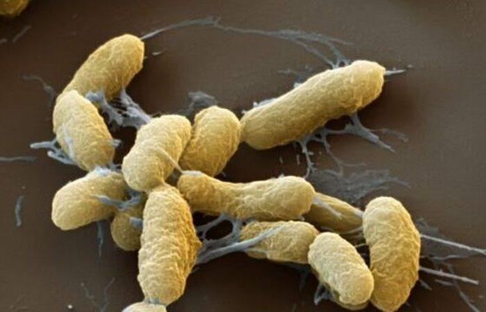 A bactéria Yersinia pestis, causadora da peste bubônica  (Foto: Reprodução/Organização Pan-Americana da Saúde)