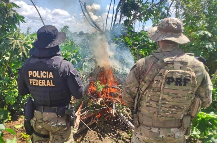 Plantações poderiam produzir 180 toneladas da droga; ações ocorreram em nove municípios. (Foto: Reprodução/PRF.)