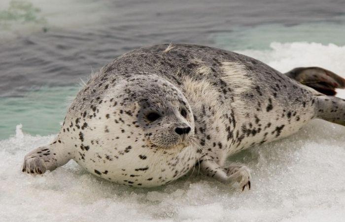 Uma jovem foca-pintada repousa sobre o gelo do Mar de Bering (Foto: jomilo75/Flickr)
