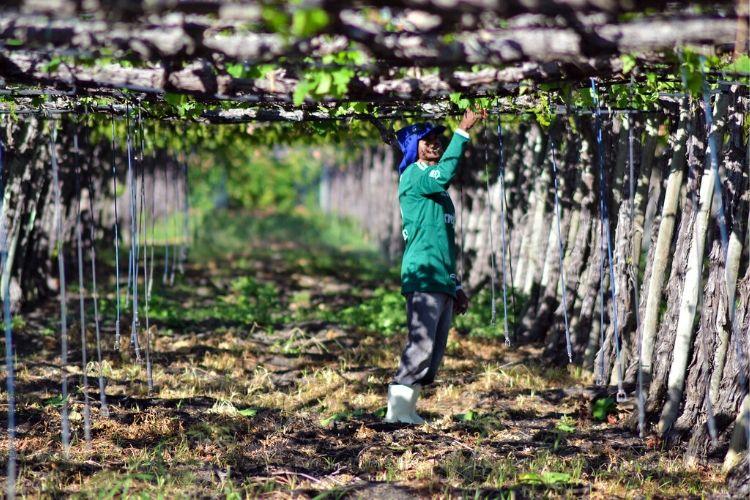 A fruticultura irrigada é uma das cadeias beneficiadas (Jonas Santos/ Divulgação )