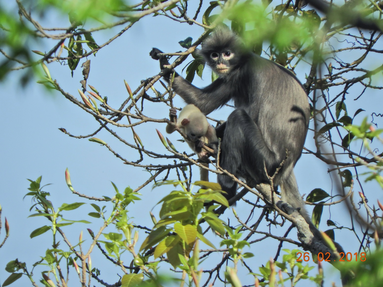 (Foto: Thaung Win / German Primate Center (DPZ)- Leibniz Institute for Primate Research / AFP)