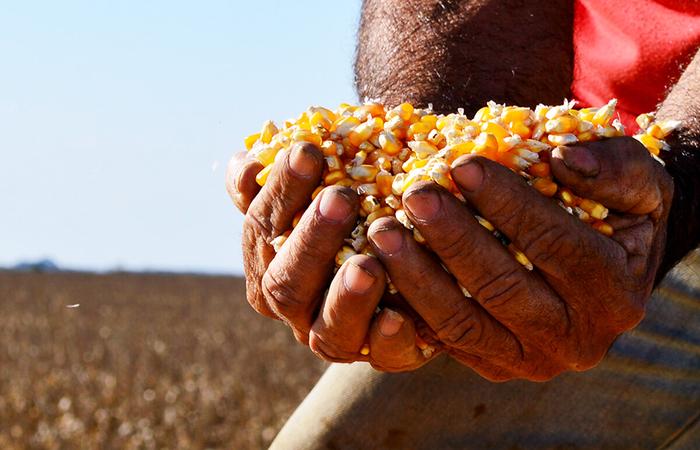 Programa faz a entrega de sementes de milho e de sorgo no período de chuva.  (Foto: Divulgação)