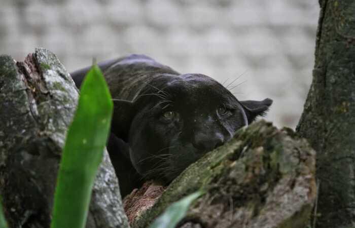 A onça preta parece mais triste sem a movimentação dos visitantes (Foto: Rômulo Chico/Esp. DP)