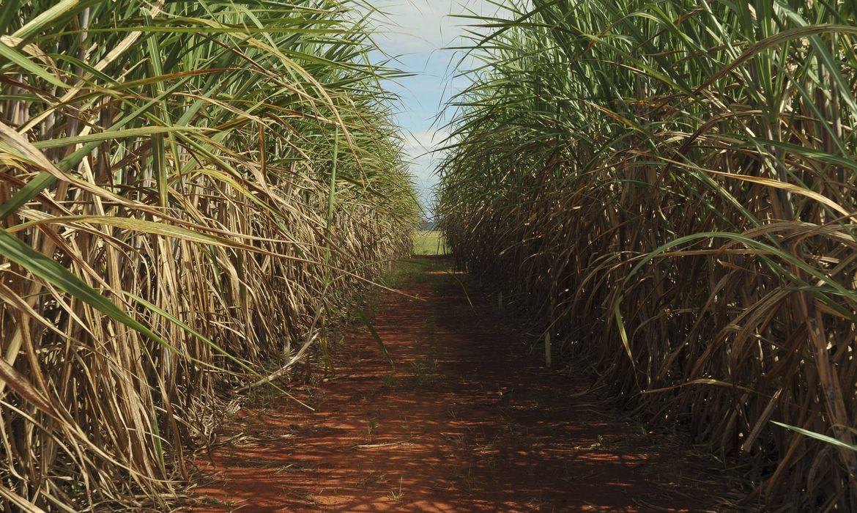(Criada na década de 1990, Ridesa lidera pesquisa canavieira no Brasil. Foto: Arquivo/Agência Brasil)