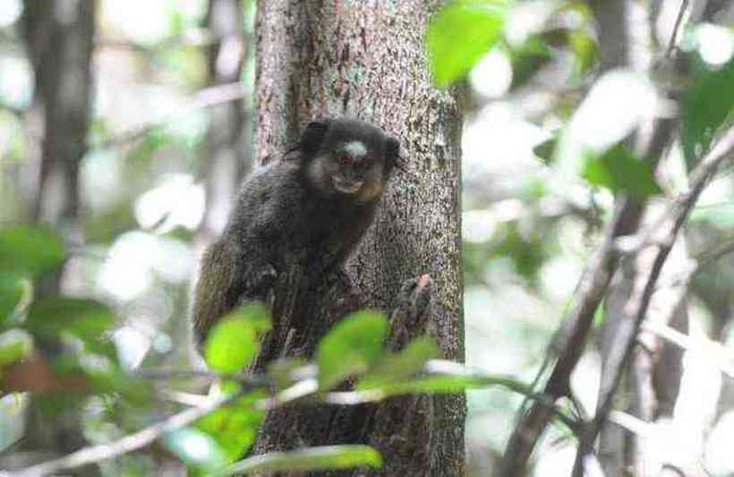 (Os 10 micos-estrela não receberam o vírus, têm o estado de saúde acompanhado pelos pesquisadores e serão liberados na natureza depois de teste. Foto: Leandro Couri/EM/DA Press)