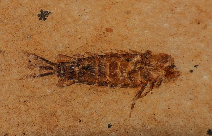 Larva de efêmera do grupo Hexagenitidae, proveniente da escavação controlada.  (Foto: Arquivo/Pesquisadores)
