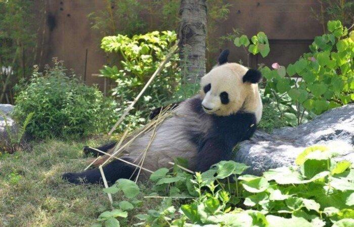 """A panda Shin Shin pode estar """"grávida"""". Anúncio fez ações de restaurantes perto do zoológico subirem  (crédito: Handout / TOKYO ZOOLOGICAL PARK SOCIETY / AFP )"""