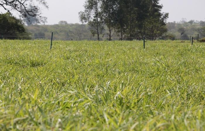 (As forrageiras também contribuem para a manutenção do país na posição de grande produtor e exportador de carne bovina - Foto: Juliana Sussai )