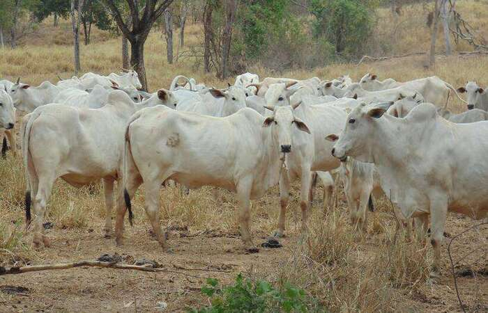 Segundo o Ministério da Agricultura, Pecuária e Abastecimento, a Organização Mundial de Saúde Animal (OIE) foi notificada e as exportações foram suspensas (Luiz Ribeiro/EM/D. A Press)