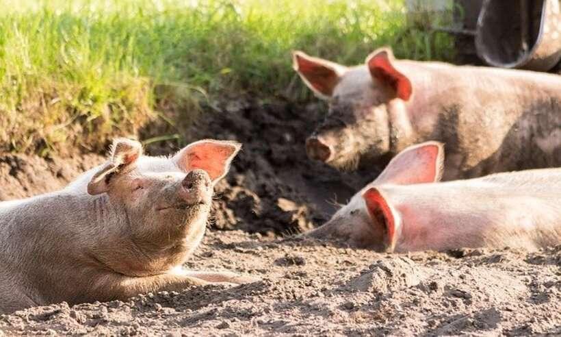 (Doença não afeta humanos, mas é fetal em animais suínos. Foto: Reprodução/ Pixabay)