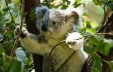 Milhões de dólares para ajudar os coalas
